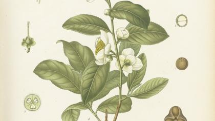 Camellia sinensis by Walter Müller, 1887