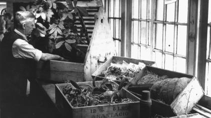 Image of a horticulturist packing plants into a Wardian case ready for transportation