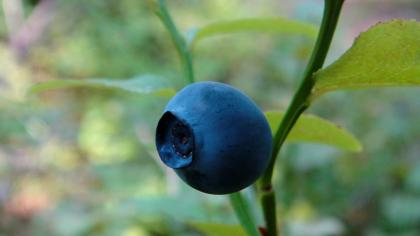 Small blue berry surrounded by foliage.