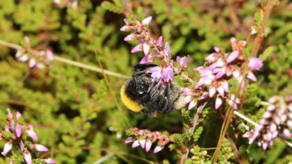 Bee on heather flower