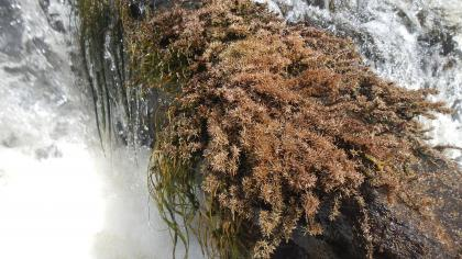 Brown plant with moss-like appearance in running water.