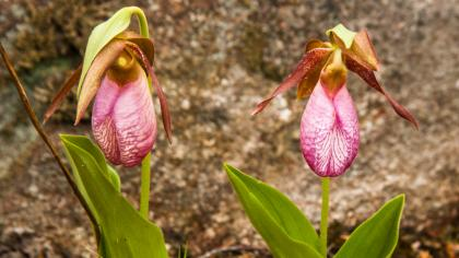 Lady's slipper orchid (Cypripedium reginae)