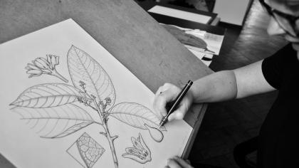 A botanical artist at work
