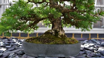 Bonsai tree, Bonsai house
