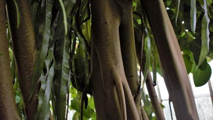 Strangler fig, Palm House