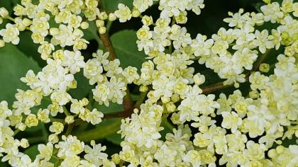 Close up of white elderflowers