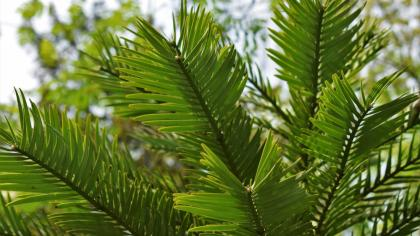 Light green, needle-like leaves of Wollemi pine