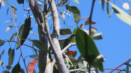 Morrisby's gum with smooth, light grey bark and lance-shaped, green leaves