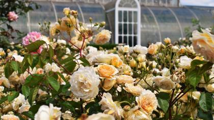 Pink and white roses in the Rose Garden