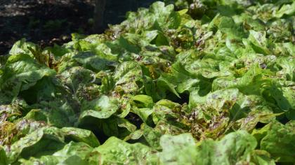 Lettuce, Kitchen Garden