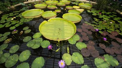 Waterlily House pond