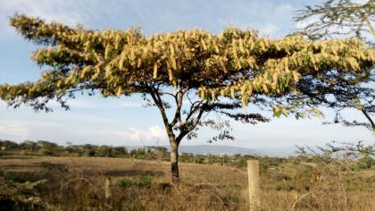 A single tree with yellow fluffy flowers