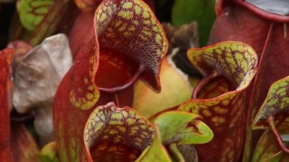 Purple pitcher plant