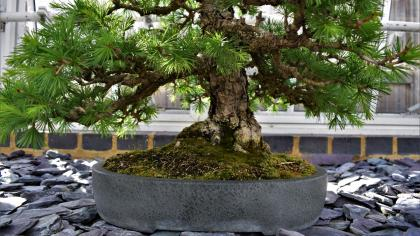 Bonsai tree at Kew Gardens