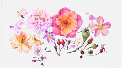 Botanical illustration of roses in bright colours