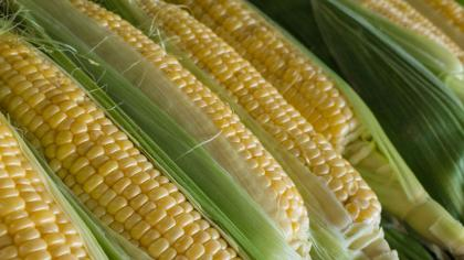 Sweetcorn cobs lined up