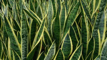 Close-up of the sharp leaves of mother-in-law's tongue (Sansevieria trifasciata)