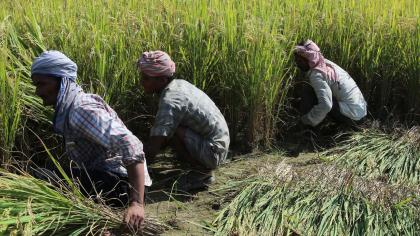 Four Nepalese men harvesting rice