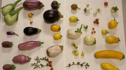 Table covered in eggplant varieties