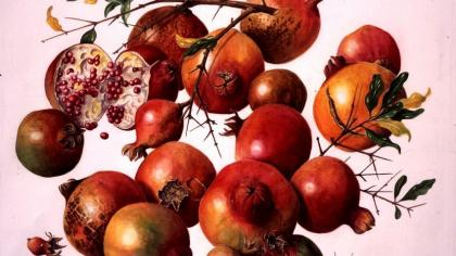 Watercolour of pomegranates (Punica granatum) by Ann Schweizer