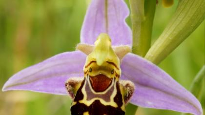 Close up of a bee orchid (Ophrys apifera) which looks like a bee