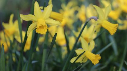 Cluster of yellow daffodils