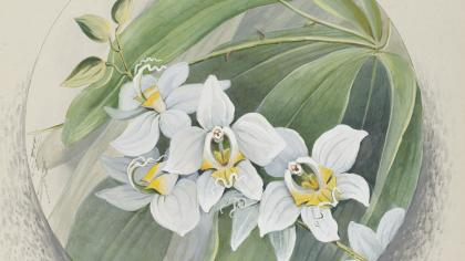 An illustration of Phalaenopsis amabilis Moon orchid Indonesia