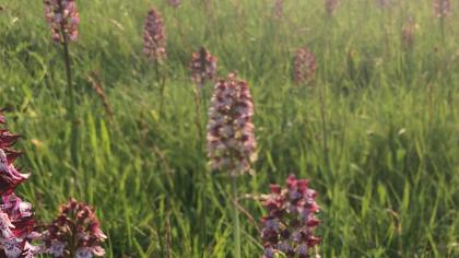 Field with purple orchids in