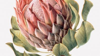Painting of Protea I : King Protea 2000 Protea cynaroides by Brigid Edwards © Shirley Sherwood Collection