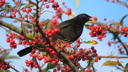 Blackbird eating berries on a tree branch