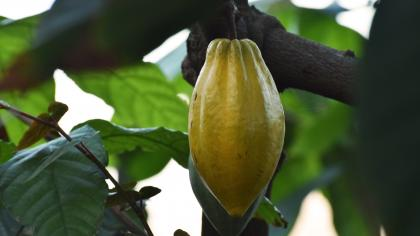 Cacao pod growing in the Princess of Wales Conservatory