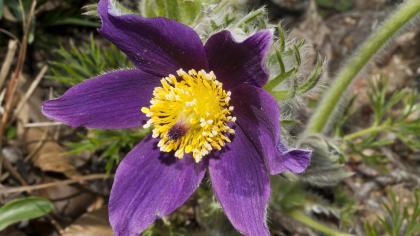 Purple pasqueflower with bright yellow centre