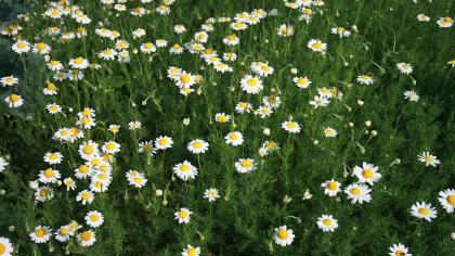 Finely divided, green leaves and white, daisy-like flowers with a yellow centre of chamomile plants.