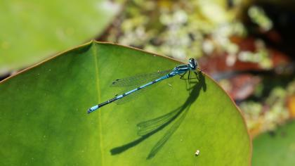 Azure damselfly, on its thorax, the black on blue is u-shaped
