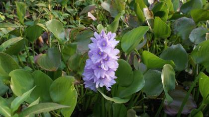 Lilac flowers and glossy, green leaves of water hyacinth