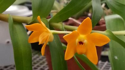 Small orange flower of orchid from New Guinea