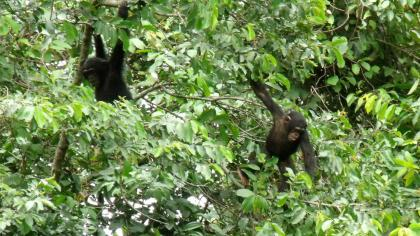 Chimpanzees swinging in a tree
