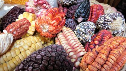 Different coloured maize