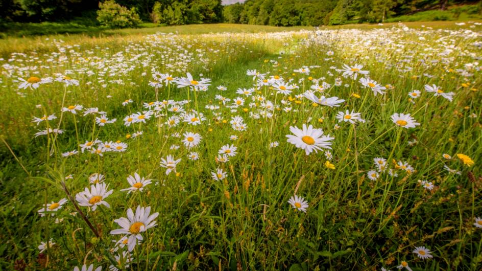 Daisies in Coronation Meadow