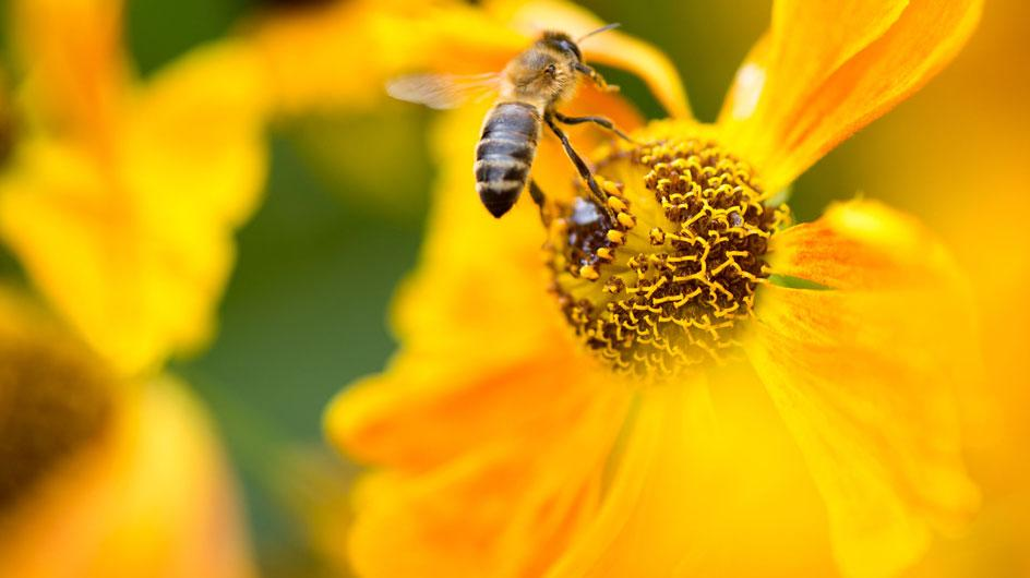 Honey bees (Apis-mellifera)