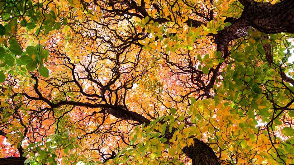 Brightly coloured autumnal leaves in a tree canopy