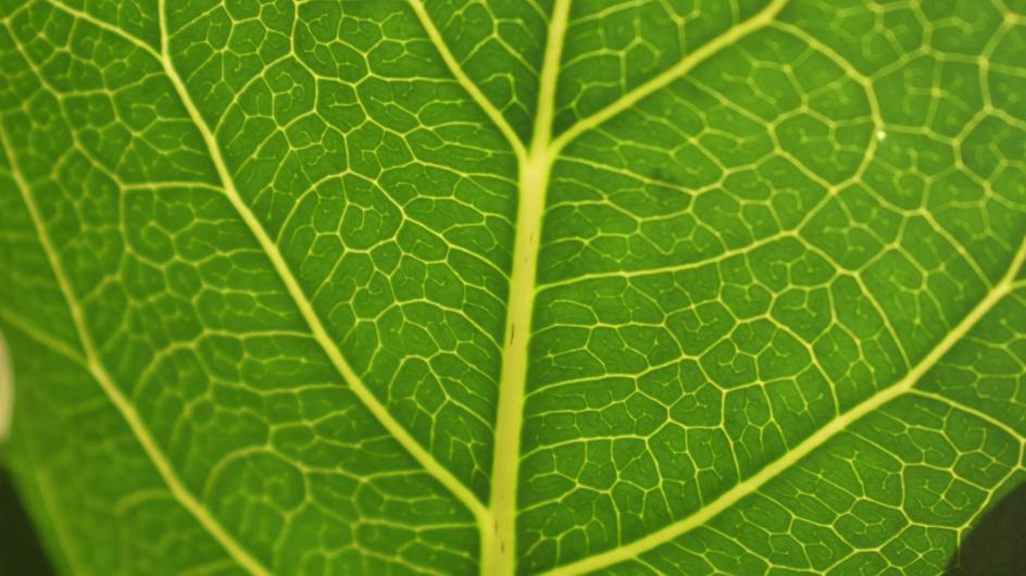Closeup of a bright green veiny leaf