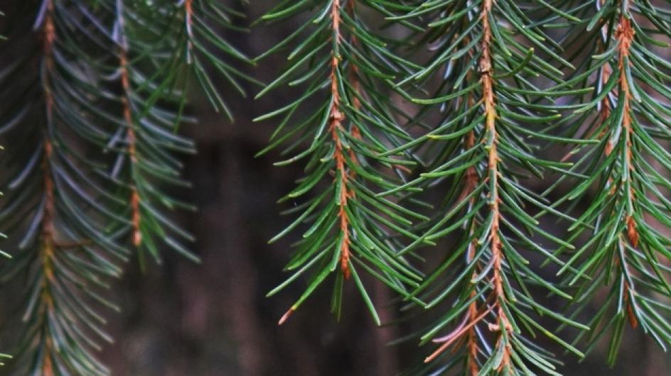 A close up of pines hanging from a tree