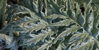 Cynara scolymus covered in frost