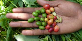 Coffee fruits (Credit: Jenny Williams)