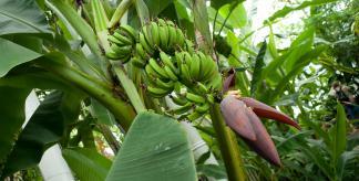 Bananas inside Kew's Palm House
