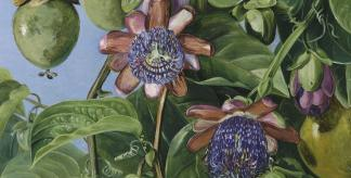 Flowers and Fruit of the Maricojas Passion Flower, Brazil (by Marianne North)