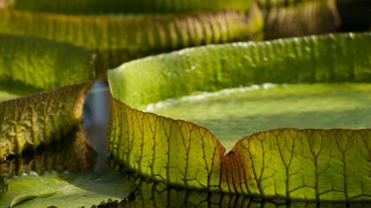Close-up of giant waterlily (Victoria Amazonica) in pond