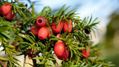 The red berries of a yew tree