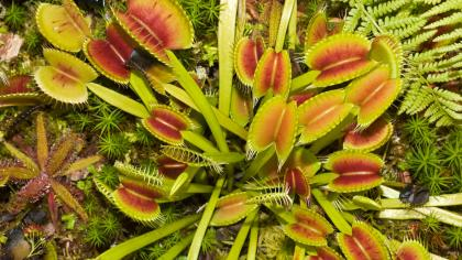 Venus flytraps with toothed-leaves that have a bright red centre